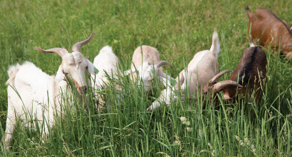 Goats clearing brush in field.