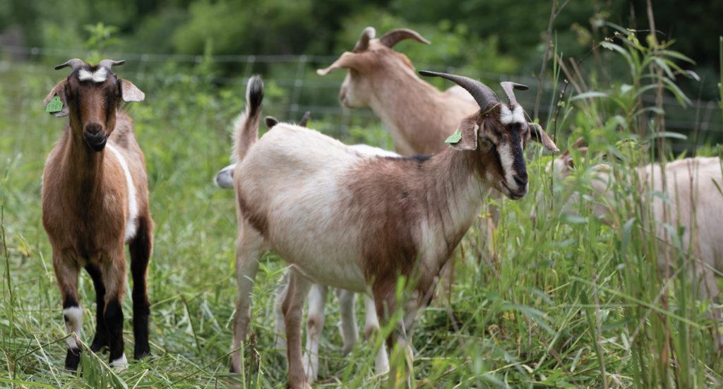 Goats in a field.