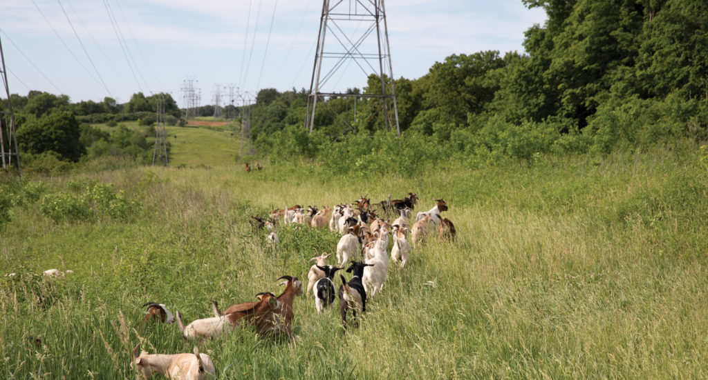Herd of goats clearing brush near power lines.