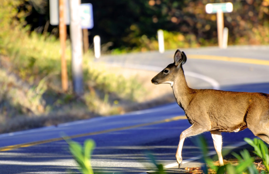 Deer Near Roadway