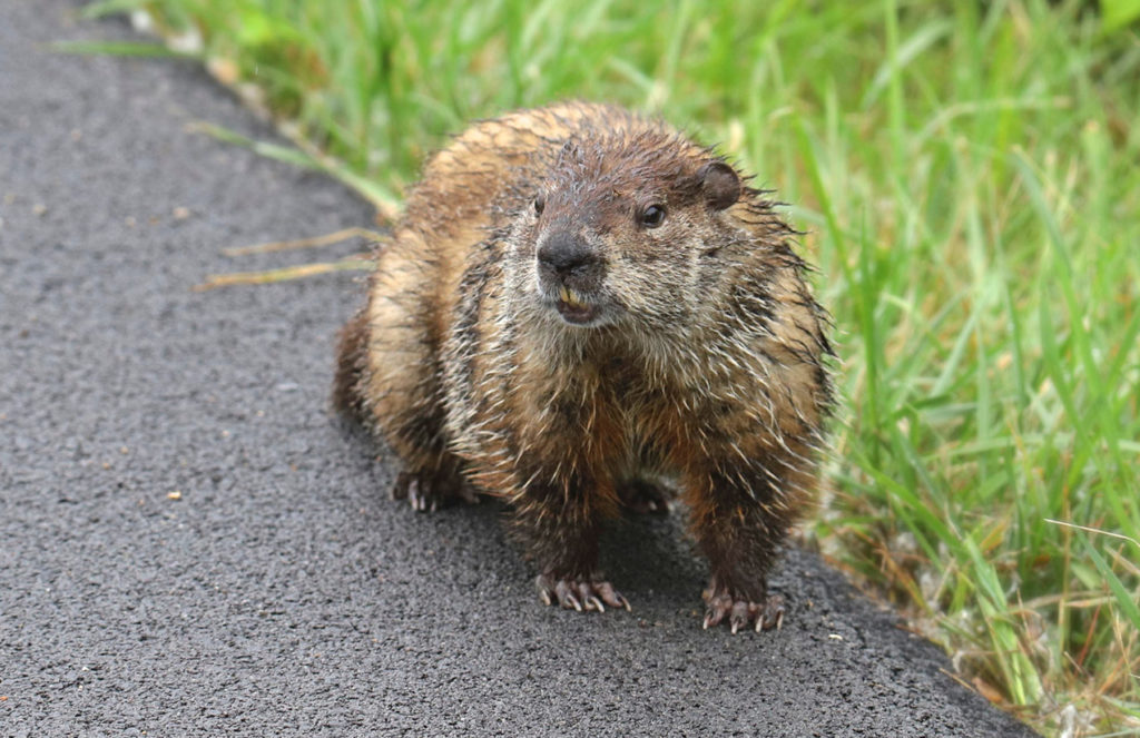 Groundhog Near Roadway